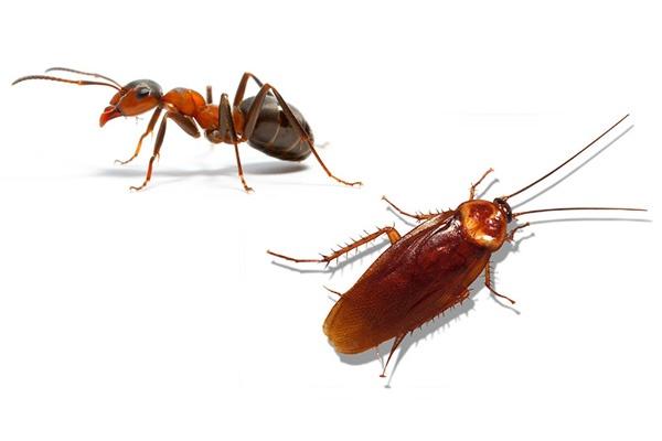 Cockroaches Pest Control In Ahmedabad, Vadodara, Surat, Bhavnagar, Modasa, Kadi, Kalol