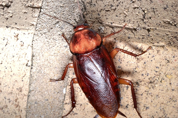 Cockroaches Pest Control In Rajkot