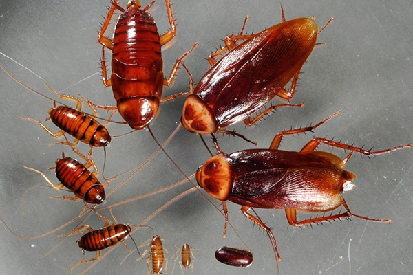 Cockroaches Pest Control in Ahmedabad, Gujarat, India