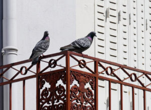 How to get rid of pigeons on Balcony in India