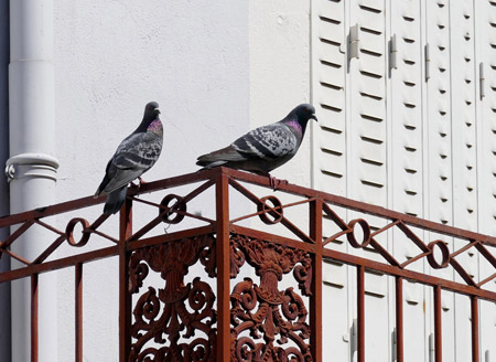 How to get rid of pigeons on Balcony