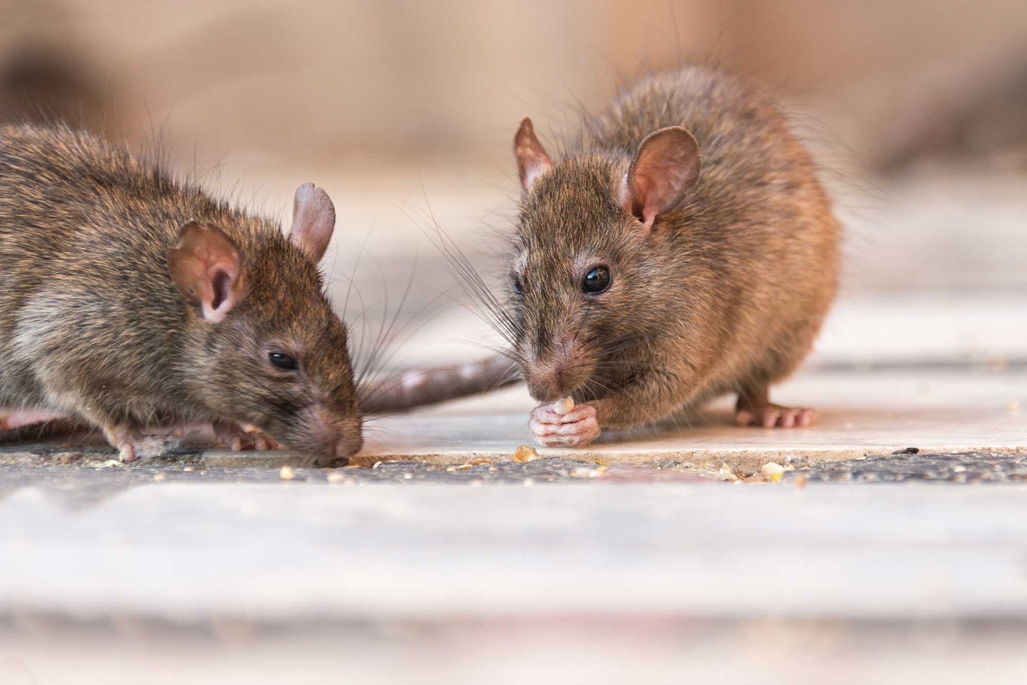 Rodent Control Service in Ahmedabad, Gujarat, India