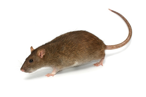 Rodent Pest Control In Gujarat