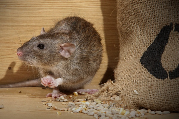 Best Rodent Control Service in Ahmedabad, Surat, Bhavnagar, Anand, Sanand
