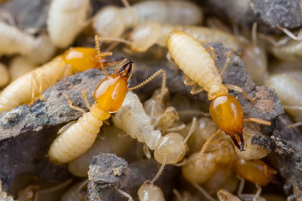 Termite Pest Control Services in Ahmedabad, Gujarat, India